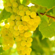 Close-up of ripe golden grapes hanging in the sunlight in vineya — Stock Photo #6632530