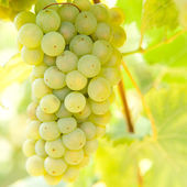 Close-up of ripe golden grapes hanging in the sunlight in vineya — Stock Photo