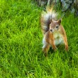 Eurasian red squirrel outdoors — Stock Photo