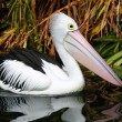 Royalty-Free Stock Photo: Australian pelican has a rest in the Perth Zoo