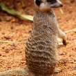 Royalty-Free Stock Photo: Australian Meerkat