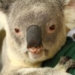 Koala in Australia — Stock Photo