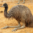 Royalty-Free Stock Photo: Portrait of an Emu in Australia
