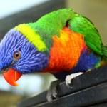 Australian Bird — Stock Photo #5629032