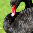 Black Swan over green grass - Stock Photo