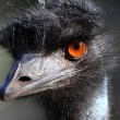 Portrait of an Emu in Australia — Stock Photo