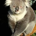 Koala in Australia — Stock Photo
