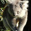 Royalty-Free Stock Photo: Koala in Australia