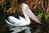 Australian pelican has a rest in the Perth Zoo — Stock Photo