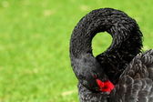 Black Swan over green grass — Stock Photo