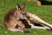 Kangaroo in Australia — Stock Photo