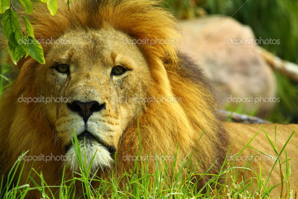 African Lion  — Stock Photo #5628756