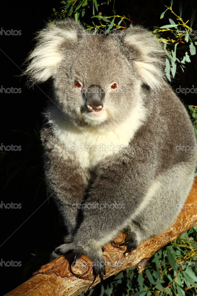Koala in Australia  — Stock Photo #5629792
