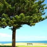 Araucaria tree in Perth, Australia — Stock Photo