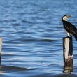 Royalty-Free Stock Photo: Cormorant in Australia