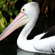 Australian pelican has a rest in the Perth Zoo — Stock Photo #5652325
