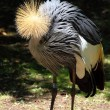 Stock Photo: Beautiful crowned crane with blue eye and red wattle