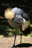 Beautiful crowned crane with blue eye and red wattle — Stock Photo