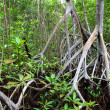 Royalty-Free Stock Photo: Mangrove forest