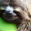 Постер, плакат: Close up view of Brown throated sloth sleeping Costa Rica