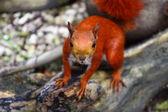 Ardilla roja — Foto de Stock