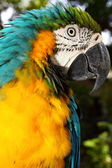 Close up portrait of blue and yellow macaw — Stock Photo