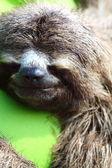Close-up van bruin throated luiaard slapen, costa rica — Stockfoto