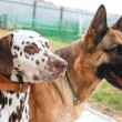 Row of couple breed dogs with obedient look. Friendship between — Stock Photo #5485927