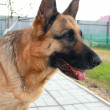 Confidence in defense. Serious German shepherd dog looking at — Stock Photo #5494047