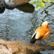 Bright orange duck sitting near the beautiful lake on stones - Stock Photo