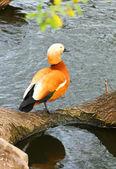 Bright orange duck sitting near the lake on stone — Stock Photo