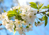 Spring cherry blossom with soft background. — Stock Photo