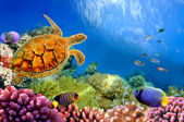Photo of a coral colony and turtle — Stock Photo