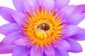 Paarse waterlelie en lieveheersbeestje — Stockfoto