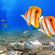 copperband butterflyfish — Stock Photo #5428344