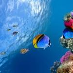 Threadfin butterflyfish (Chaetodon auriga), Red Sea, Egypt — Stock Photo