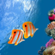 Coral reef and Copperband butterflyfish (Chelmon rostratus) — Stock Photo