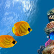 Masked butterfly fish - Stock Photo
