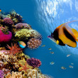Photo of a coral colony on a reef top, Red Sea, Egypt — Stock Photo