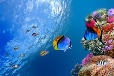Threadfin butterflyfish (Chaetodon auriga), Red Sea, Egypt