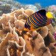 Stock Photo: Regal angelfish (pygoplites diacanthus) and coral reef