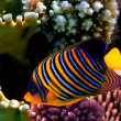 Regal angelfish (pygoplites diacanthus) — Stock Photo #5464737