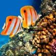 Coral reef and Copperband butterflyfish — Stock Photo