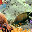 Stock Photo: Sailfin Tang (Zebrasoma desjardinii)