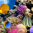Coral reef and tropical fishes in Red sea — Stock Photo #5464942