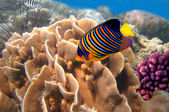 Regal angelfish (pygoplites diacanthus) and coral reef — Stock Photo