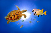 Turtle underwater in deep and sunlight — Stock Photo