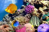 Coral reef and tropical fishes in Red sea — Stock Photo