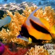 Pennant coralfish or bannerfish - Stock Photo