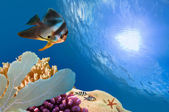 Spadefish and ocean in the Red Sea. — Stock Photo
